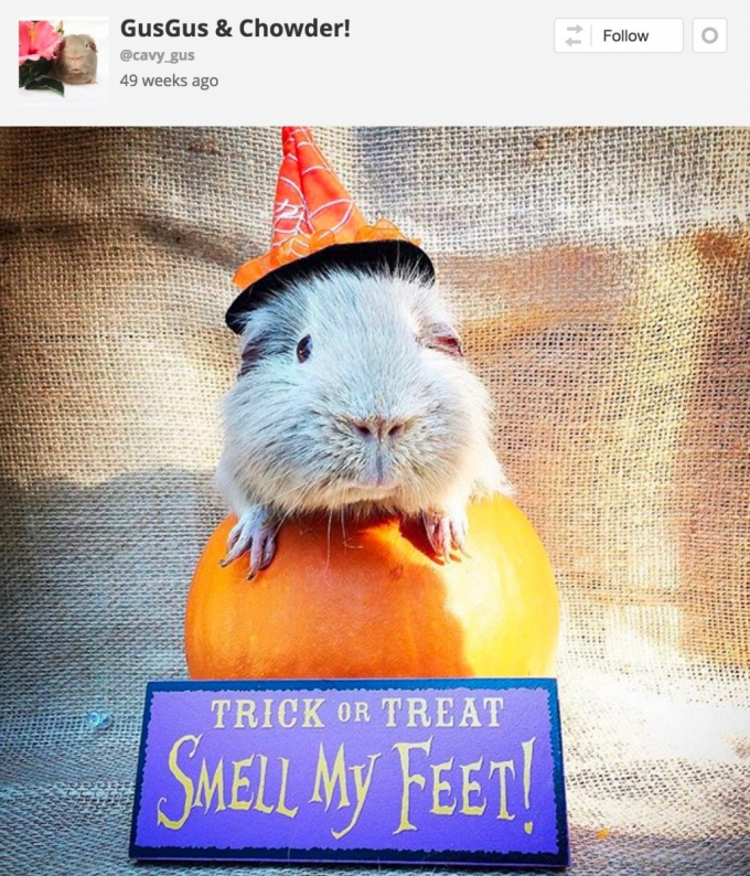 Guinea pig in witches Halloween costume