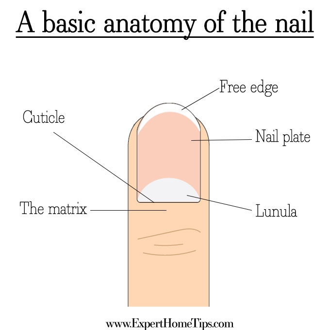 Nail Anatomy diagram
