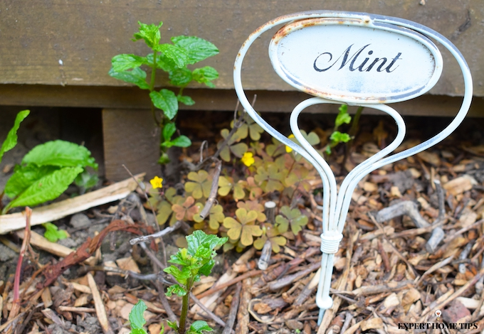 growing mint plants in the garden will deter bugs