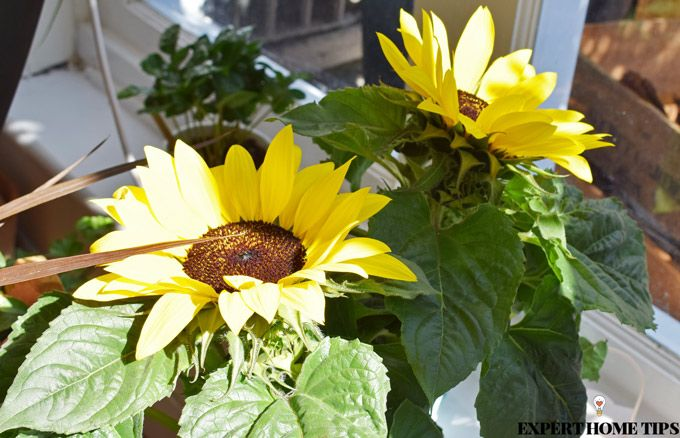 sunflowers houseplants