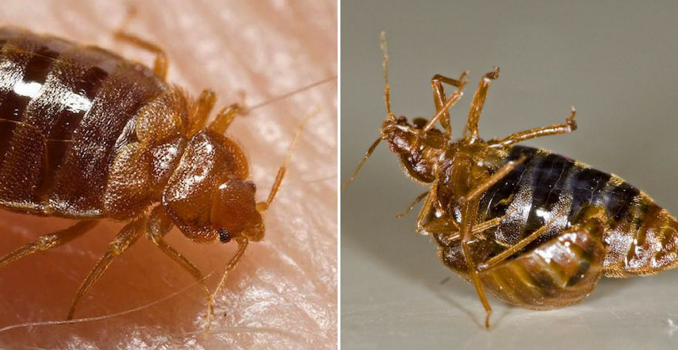 7 Effective Home Remedies For Bed Bugs (Banish Them FAST!)