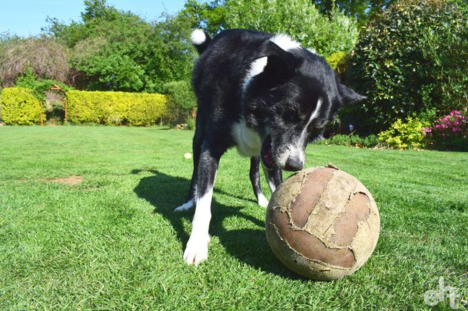 dog playing football